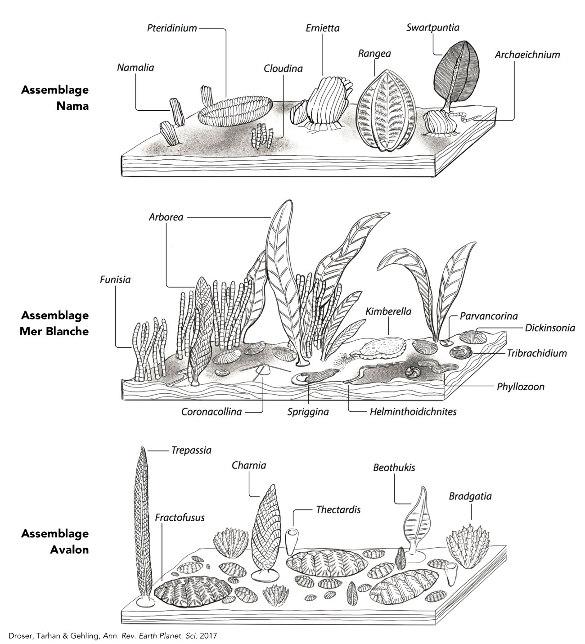 Reconstitution des trois assemblages biologiques édiacariens proposés par Ben Waggoner en 2003