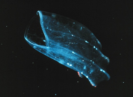 Beroe, un cténophore actuel sans tentacule, de 3 à 6cm de long