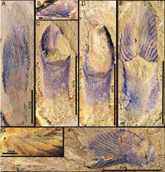 Images de Stromatoveris publiées dans Science en 2006