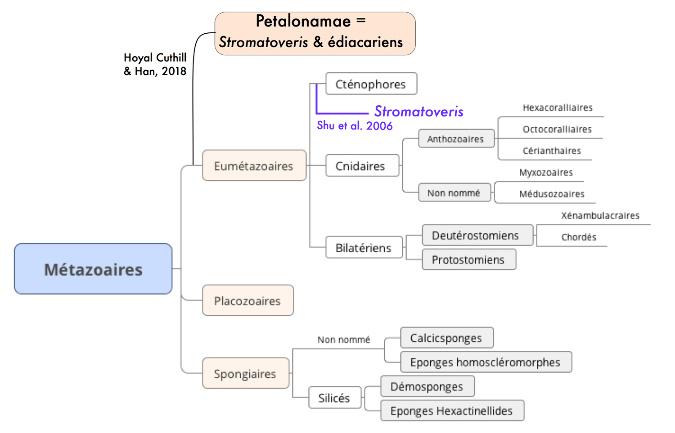 Position phylogénétique de Stromatoveris parmi les Métazoaires, selon les interprétations de 2006 et 2018