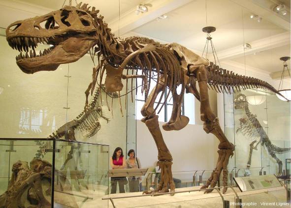 Montage moderne d'un squelette de Tyrannosaurus rex