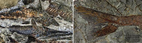 Fossiles de poissons, exceptionnellement bien préservés, du site de Tanis