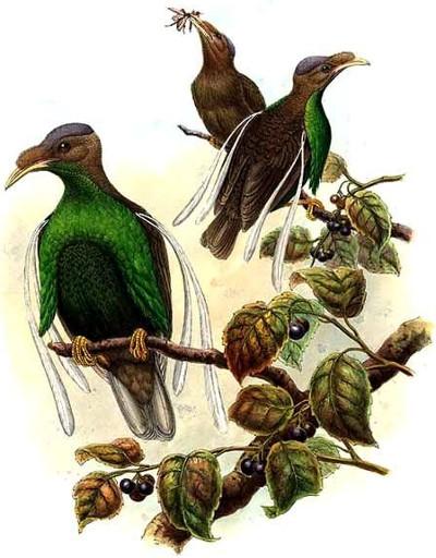 Le paradisier de Wallace (Semioptera wallacii)