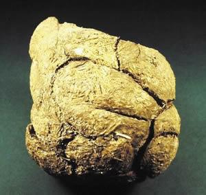 Coprolite âgé de 20.000 ans