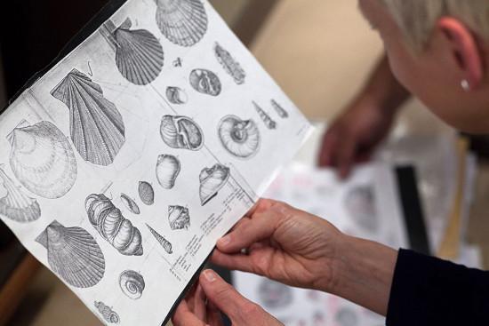 Planche 3 du livre de Darwin (1809-1882) Geological Observations on South America (1846), livre décrivant des fossiles collectés en Amérique du Sud lors de son tour du monde à bord du Beagle (1831-1836)