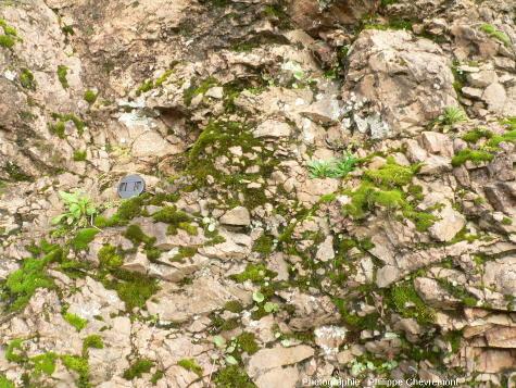 """Détail d'affleurement de brèches monolithologiques de dislocation dans des gneiss """"leptynitiques"""""""