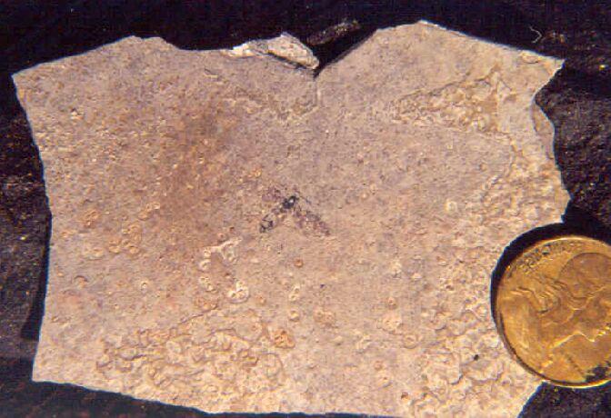 Diptère fossile (falaise du Puy St Romain)