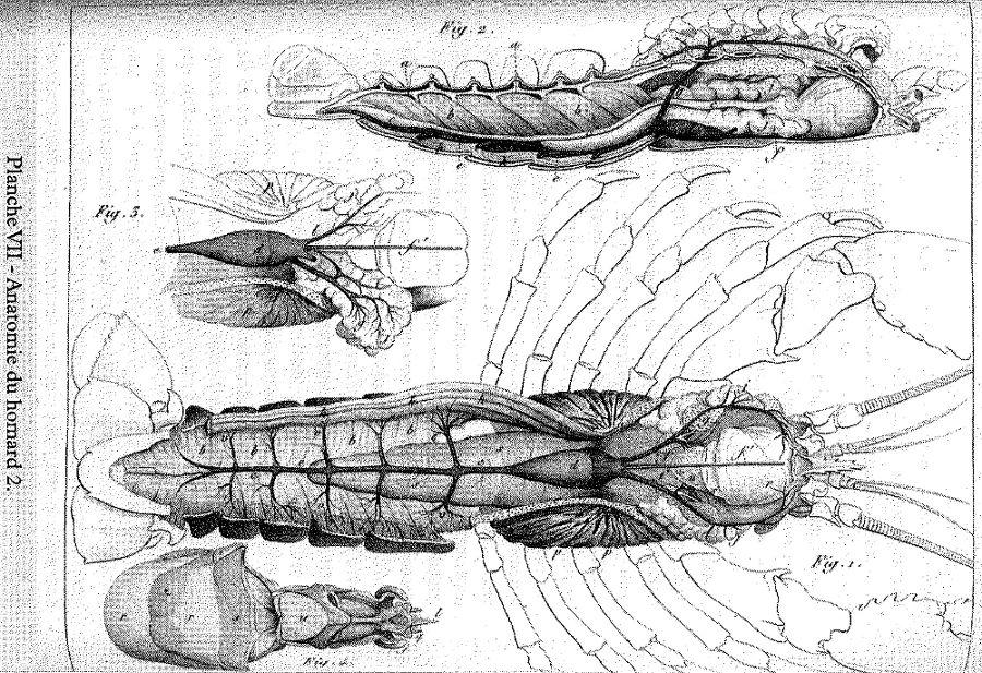 Planche VII du mémoire de Geoffroy Saint-Hilaire Sur la vertèbre de 1822