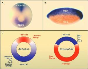 Expression des réseaux de morphogènes homologues Dpp-Sog et Chordin-BMP4 chez la drosophile et le xénope