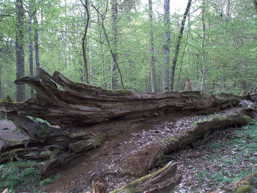 Une forêt avec, au deuxième plan, une dizaine d'arbres en train de grandir et, au premier plan, un arbre mort en train de pourrir