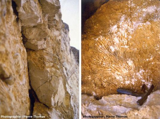 Les calcaires du Jurassique supérieur du Sud du bassin Parisien, exemple de calcaires anciens d'origine corallienne