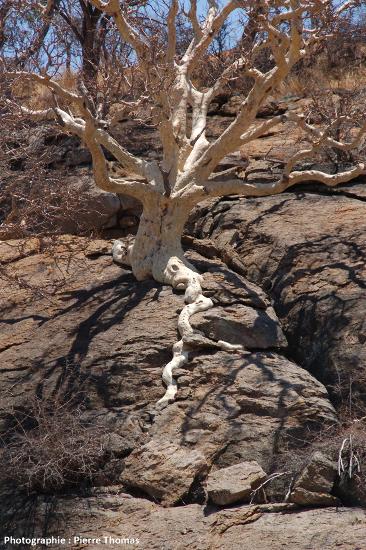 Exemple d'un système racinaire qui a tendance à provoquer et/ou élargir des fissures dans la roche