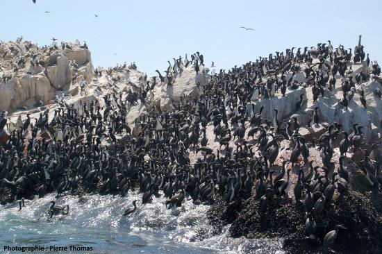 """Ilot situé au large du Pérou et très """"riche"""" en oiseaux de mer"""