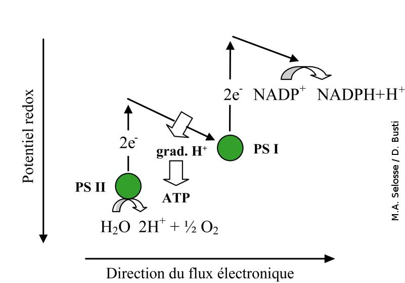 Variation du potentiel redox au cours de la photosynthèse des plantes, des algues et des cyanobactéries