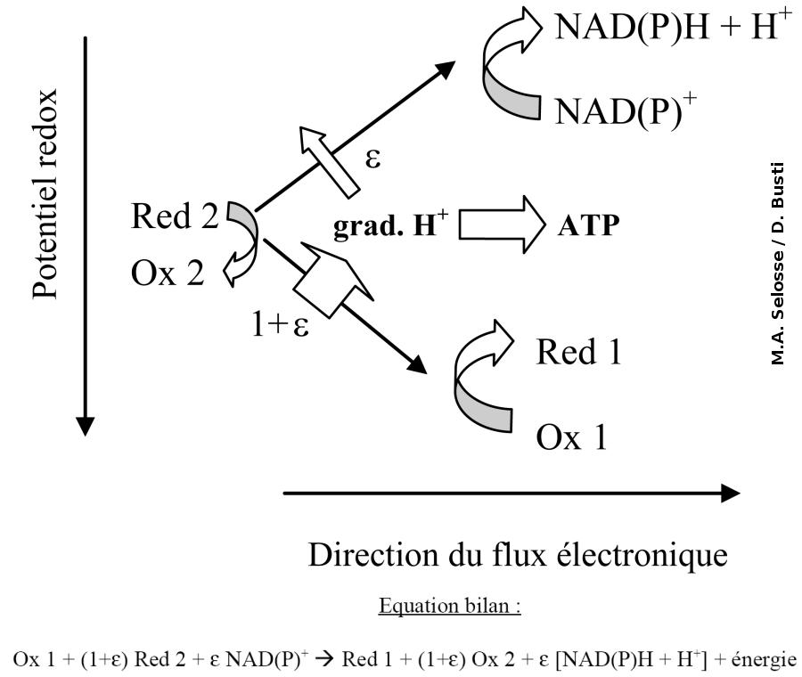 Variation du potentiel redox chez les bactéries chimiolithotrophes et équation bilan de la réaction