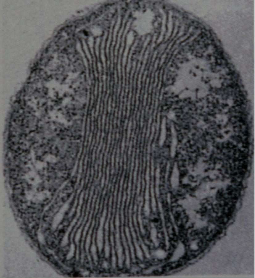 Vue en microscopie électronique à transmission d'une bactérie chimiolithotrophe exploitant le NH4+