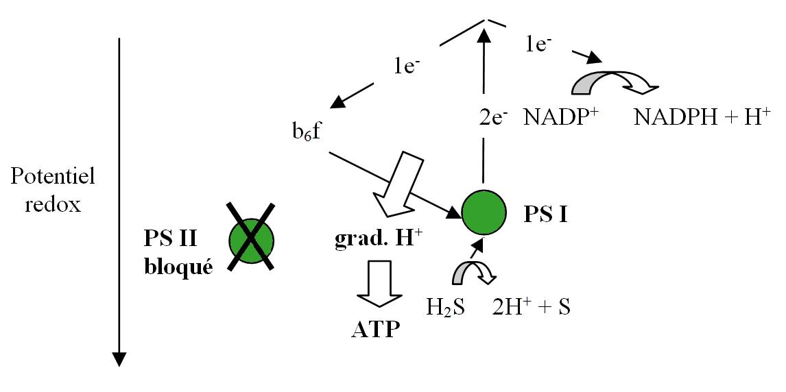 Variation du potentiel redox au cours de la photosynthèse des plantes, des algues et des cyanobactéries en présence d'H2S