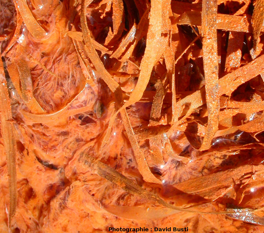Filaments blancs d'une bactérie oxydant le H2S en soufre au milieu des précipités d'oxyde de fer, en haut de canalisation