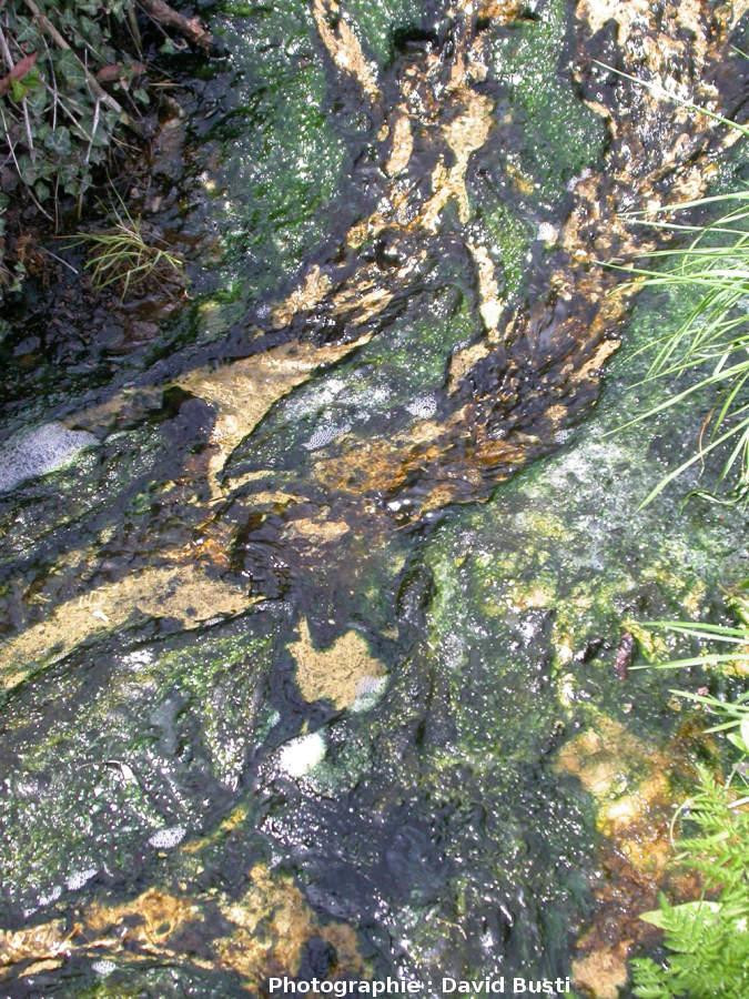 Bas du ruisseau enrichi en diatomées (en brun) et algues vertes (vert bouteille)
