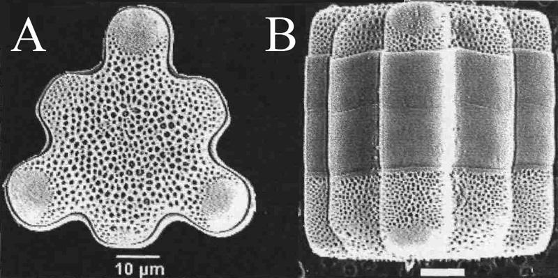 Microphotographies de Hydrosera triquetra