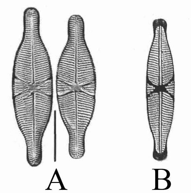 Microphotographies de Capartogramma crucicula