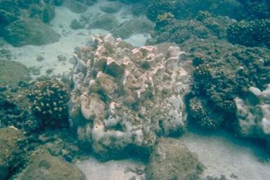 Colonie de 5 mètres de haut d'un corail massif (Pavona Clavus), aux îles Galapagos aux large des côtes de L'équateur dans l'océan Pacifique