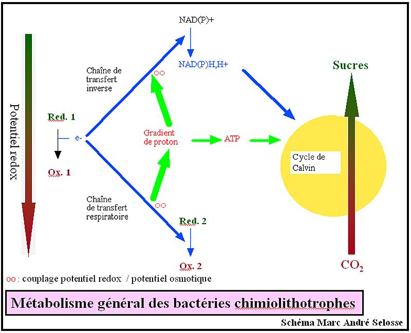 Schéma simplifié couplant des réactions d'oxydo-réduction de substances minérales et la synthèse de molécules organiques (sucres…) par des bactéries chimiolithotrophes
