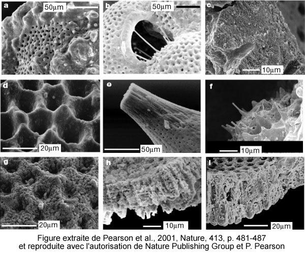 Images de foraminifères planctoniques obtenues au microscope électronique à balayage