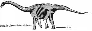 Reconstitution de Rapetosaurus krausei, un Titanosauridé découvert dans le Crétacé supérieur de Madagascar