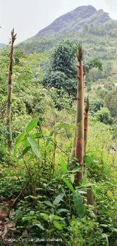 Bambous en croissance, Nord du Vietnam
