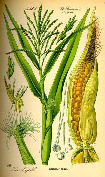 Zea maïs, le maïs actuel