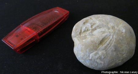 Affleurement 1, fossile d'oursin échantillonné sur le flanc Sud de la Chaine des Costes