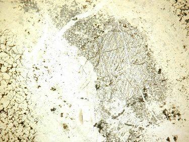Lame mince de serpentinite: orthopyroxène et clinopyroxène en Lumière Polarisée Non Analysée (LPNA)