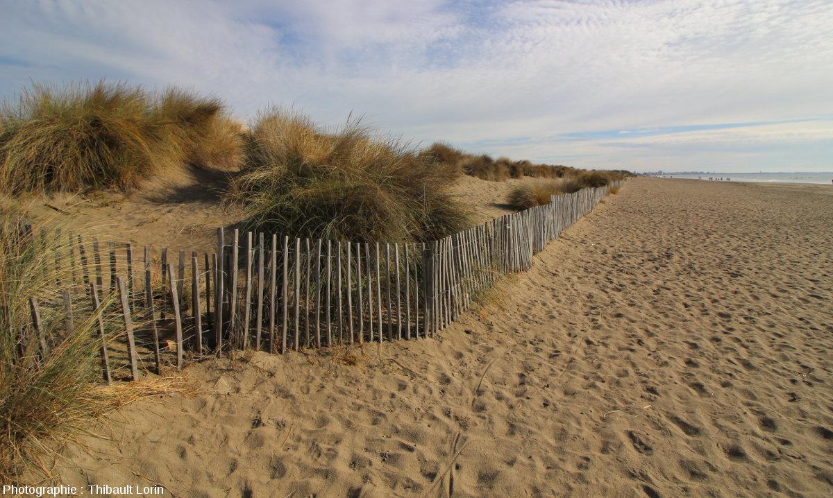 """Juste en haut de la plage se situe la dune """"blanche"""" (ou dune mobile)"""