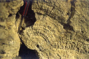 Lamines stromatolithiques concentriques