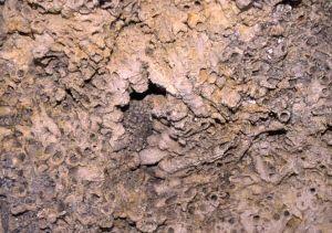 Surface de stromatolithe en boule à tubes de larves de phrygane