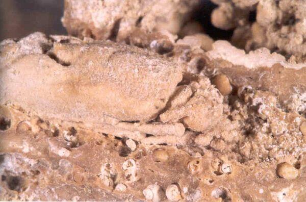 Tube fossile de larve de phrygane