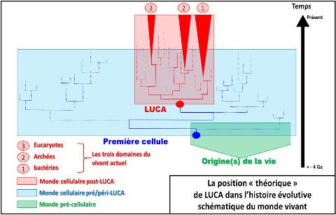 Arbre phylogénétique théorique du monde vivant cellulaire (le monde des virus n'est pas pris en compte), basé sur l'analyse comparative des gènes ARNr et montrant la séparation des bactéries, des archées, et des eucaryotes (en rouge)