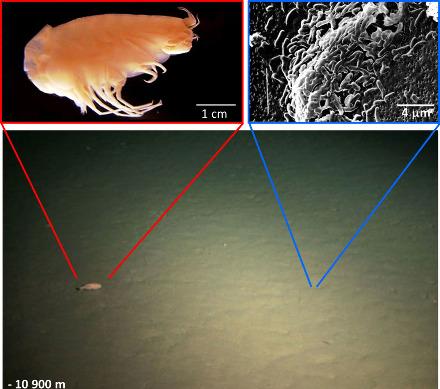 """Montage montrant un """"paysage"""" au fond de la fosse des Mariannes, fond sur lequel vivent des amphipodes (crustacés, image supérieure gauche) et bien sûr des micro-organismes (image supérieure droite)"""