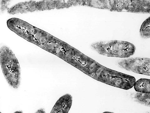 Bacillus infernus, prélevé à 2800m sous la surface (60°C, 0,07GPa), Bassin de Taylorsville (États-Unis)