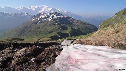 Plaque de neige colorée en rose par des Chlamydomonas nivalis juste en face du massif du Mont Blanc