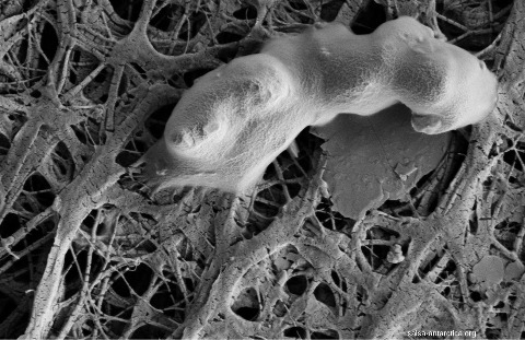 Cellule bactérienne dans des sédiments du lac Whillans (Antactique), échantillonnés à la base d'un forage ayant traversé 800m de glace continentale, l'eau du lac, et atteint les sédiments de sa base
