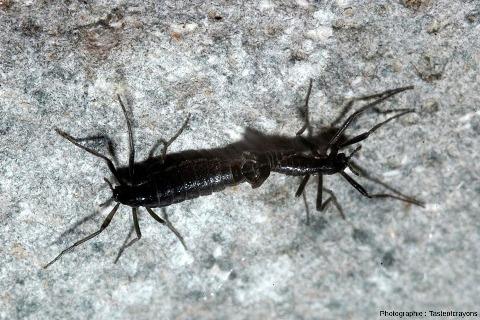Couple de Belgica antarctica, un insecte aptère psychrophile