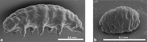 Un tardigrade, Ramazzottius varieornatus, dans son état normal hydraté (a) et à l'état déshydraté (b)