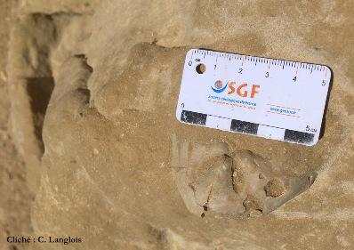 Oursin irrégulier (Schizaster sp.?), falaise de Matala (Crète)