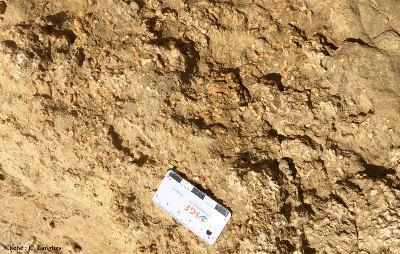 Rhodolites branchus, falaise de Matala (Crète)