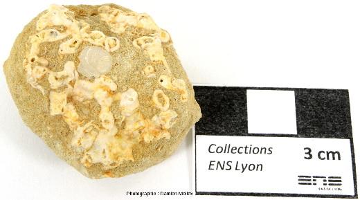 Rhodolites (blanchâtres) formant une boule indurée dans le grès calcaire et foraminifère Heterostegina (gris)