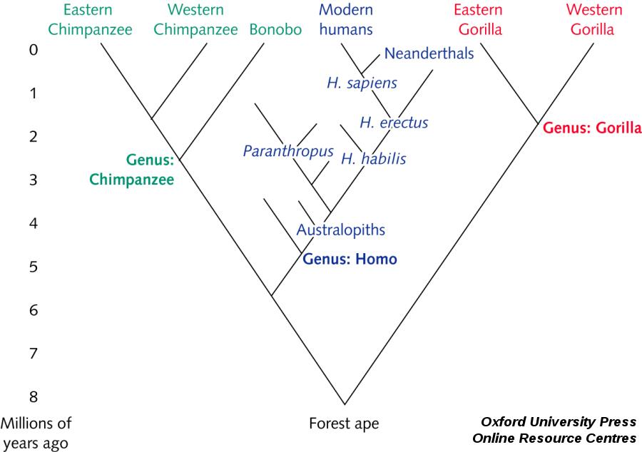 Arbre phylogénétique limité aux Chimpanzés, aux genre Homo et aux gorilles