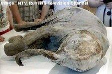 Un jeune mammouth congelé extrait du pergélisol, Sibérie