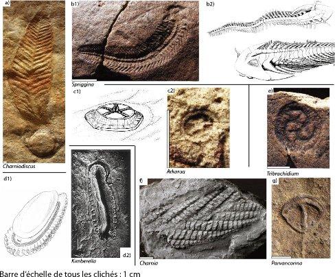 Quelques fossiles édiacariens et les reconstitutions proposées pour certains d'entre eux